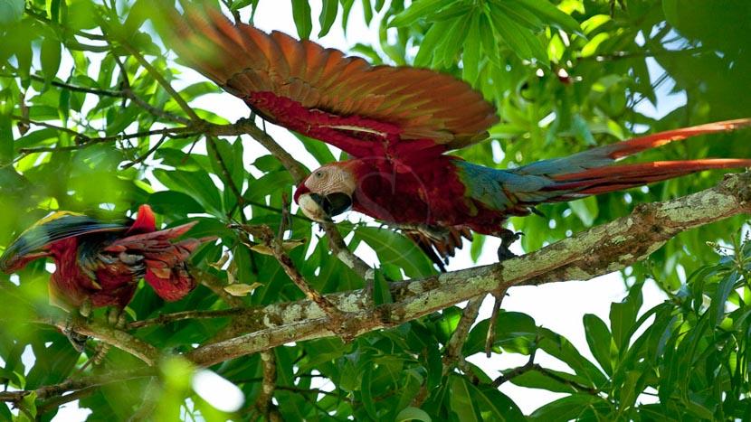 Birdwatching au Panama, Aras dans le parc de Corcovado, Costa Rica