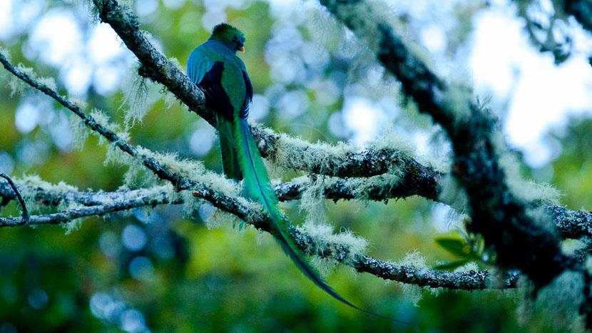 Observation des oiseaux, Quetzal au Costa Rica © L. Guillot / Etendues Sauvages
