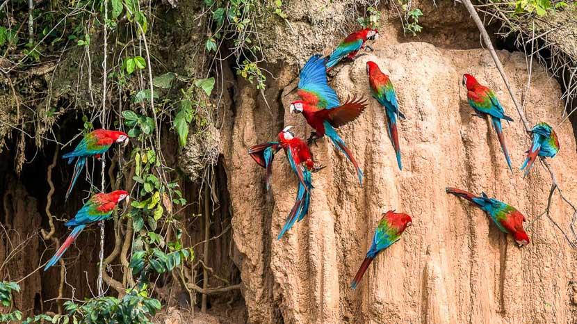 Parrots Clay Lick au Pérou, Parc de Manu, Pérou