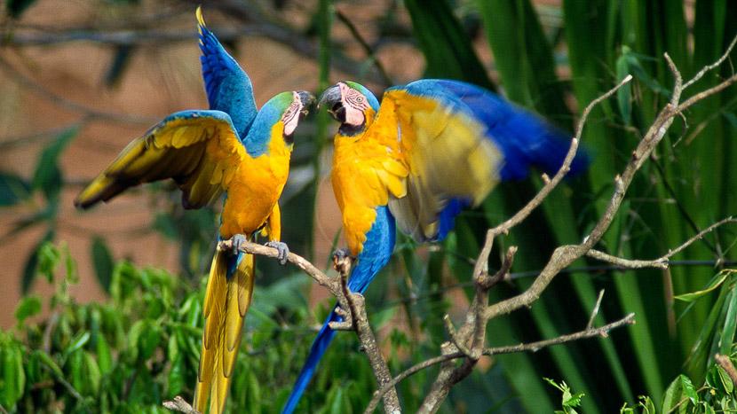 Parrots Clay Lick au Pérou, Wildlife au Tambopata Research Center, Pérou