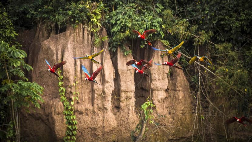 Parrots Clay Lick au Pérou, Parc de Tambopata, Pérou