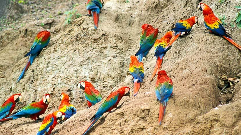 Parrots Clay Lick au Pérou, Manu Wildlife Center, Pérou