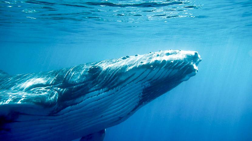 Observation des baleines à Tahiti, Observer les baleines à Tahiti, Polynésie © Tahiti Islands Travel