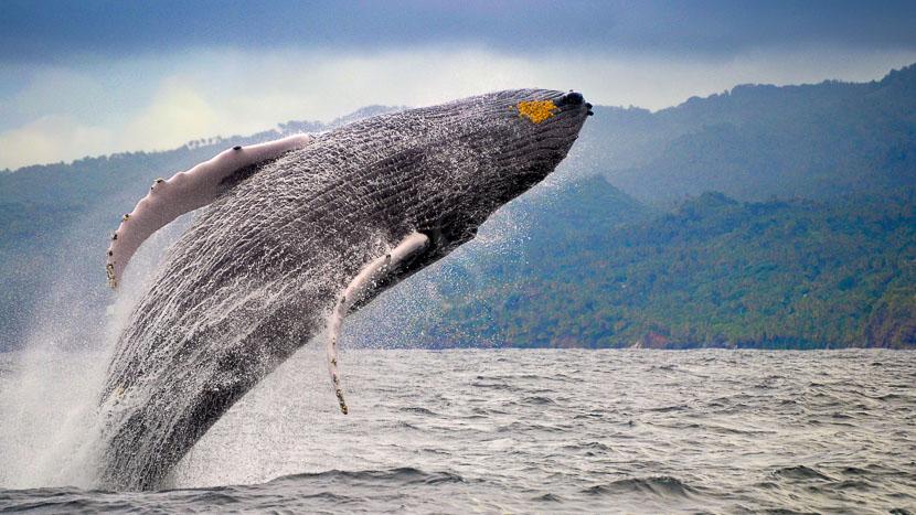 Observation des baleines à bosse, République Dominicaine © Office Tourisme
