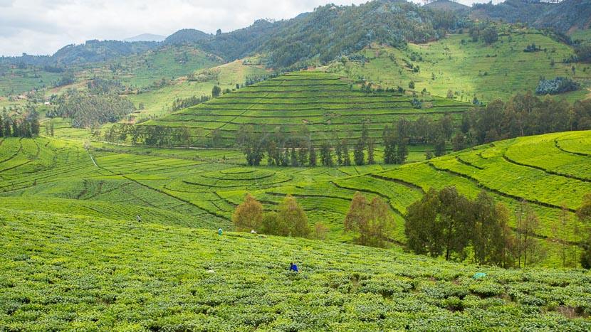 Lac Kivu, Rizières vers le lac Kivu, Rwanda © L. Guillot