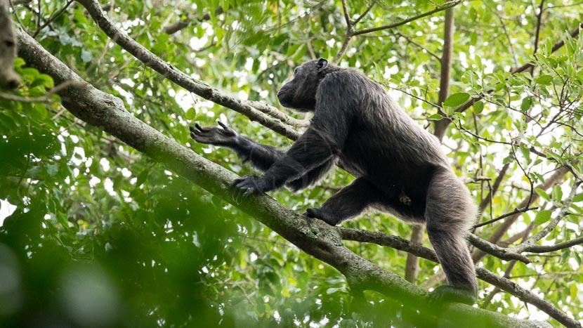Parc national de Nyungwe, Chimpanzés à Nyungwe, Rwanda © L. Guillot