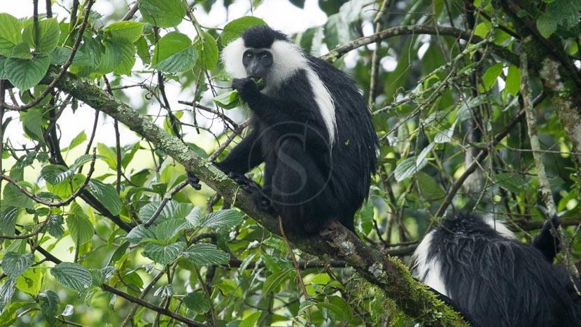 Trek colobes dans le parc national de Nyungwe,
