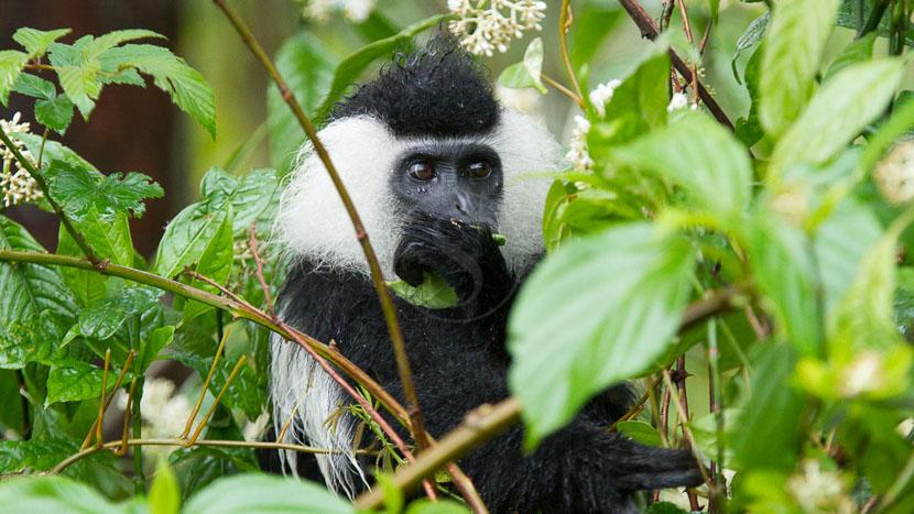 Trek chimpanzés dans le parc national de Nyungwe,