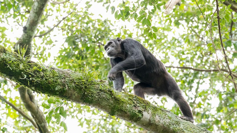 Trek chimpanzés dans le parc national de Nyungwe, Chimpanzés à Nyungwe, Rwanda © L. Guillot