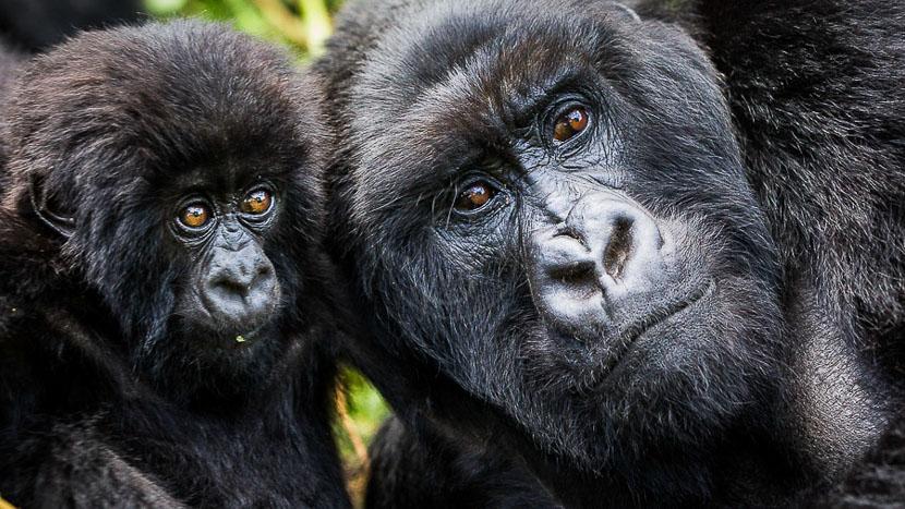 Parc national des volcans, Gorille des montagnes, Rwanda © Christophe Courteau