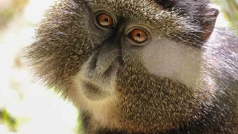 Observation des singes dorés, Singe doré, Rwanda © Corinne Le G.