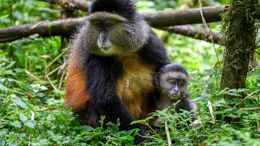 Observation des singes dorés, Activités au Bisate Lodge, Rwanda © Wilderness Safaris