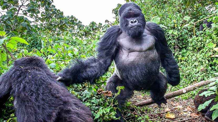 Trek gorilles au Parc des volcans, Gorille des montagnes, Rwanda © Christophe Courteau