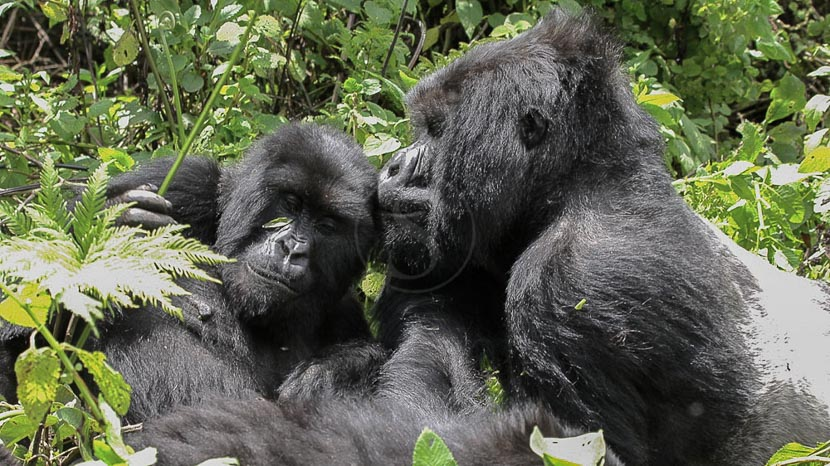 Les activités dans le parc des volcans, Gorilles des montagnes, Rwanda © Corinne le G.