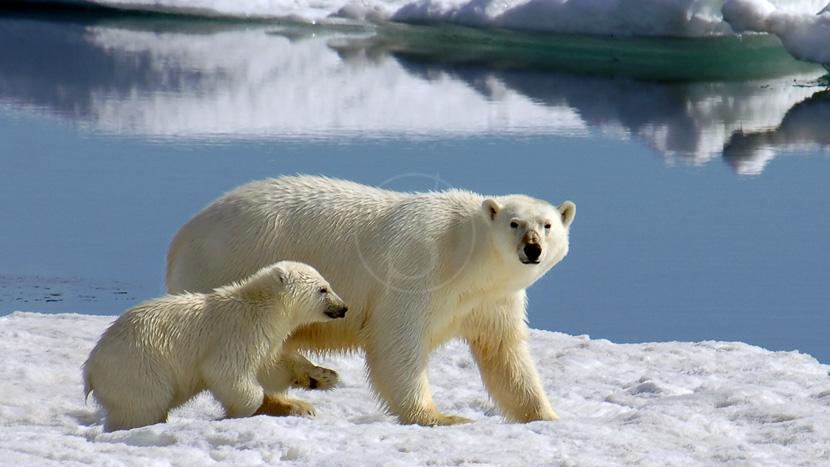 Croisière autour du Spitzberg, Ours polaire, Norvège © Alexander Kutskiy