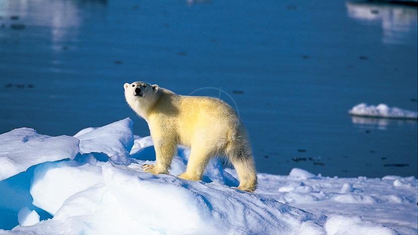 L'essentiel du Spitzberg, Ours polaire, Norvège © Paul Goldstein