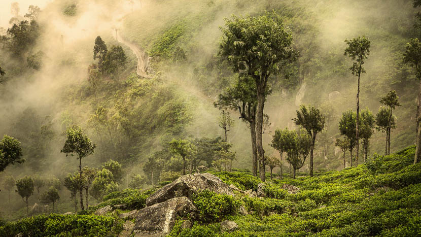 Les plantations de thé, Plantations de thé, Sri Lanka