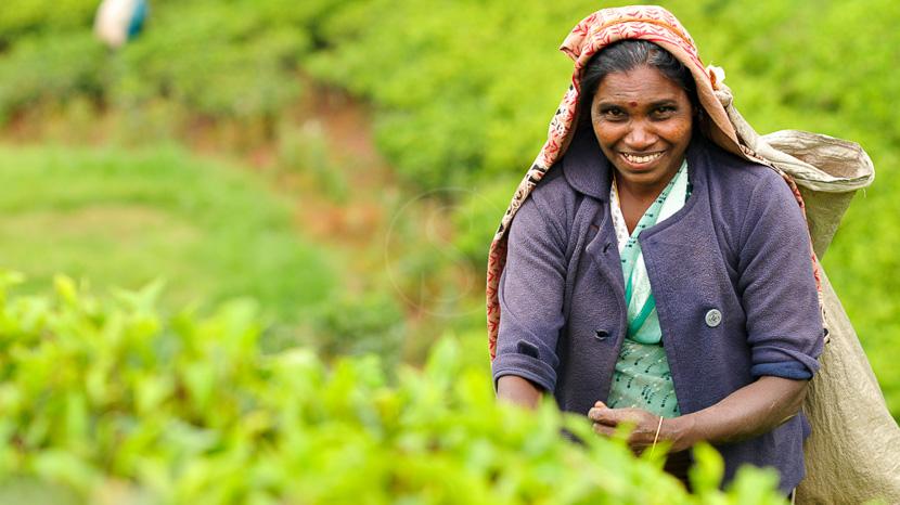 Les plantations de thé, Région de Nuwara Eliya, Sri Lanka