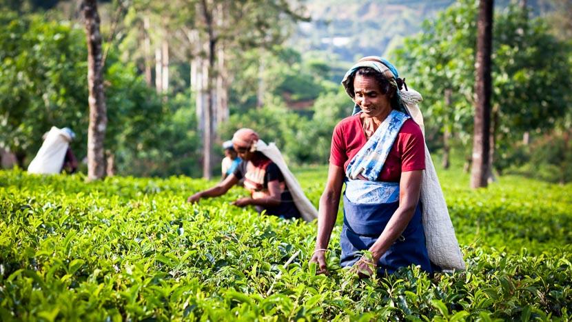 Les plantations de thé, Région de Kandy, Sri Lanka