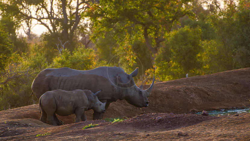 Eswatini (ex-Swaziland), Rhinos au Hlane Royal National Park, Swaziland