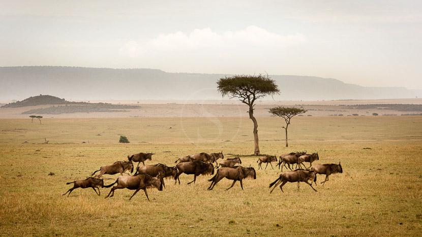 La grande migration du Serengeti, Sayari Camp, Tanzanie © Asilia - Eliza Deacon