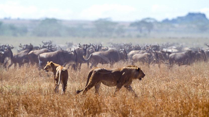 La grande migration du Serengeti, Safari dans le Serengeti, Tanzanie