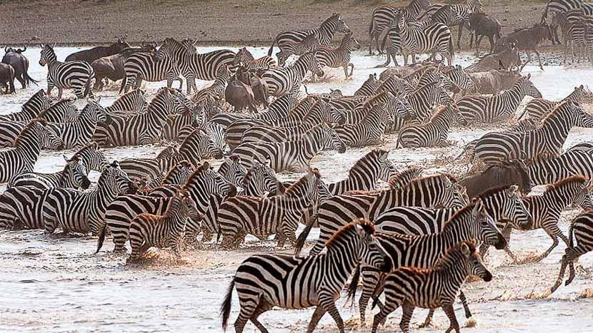 La grande migration du Serengeti, Ambiance de safari, Tanzanie © Alain Pons