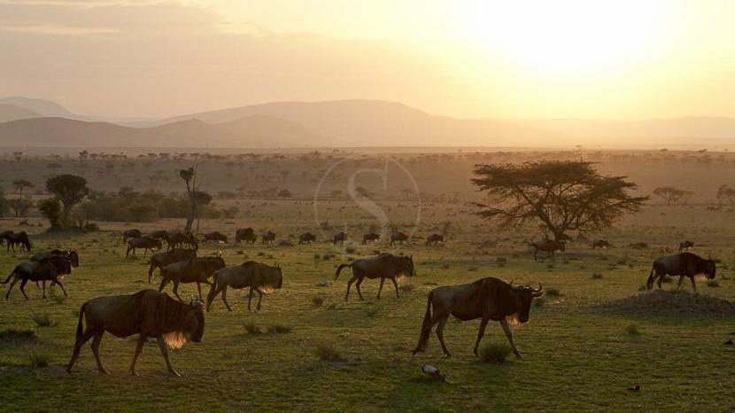 La grande migration du Serengeti, Serengeti Camp, Tanzanie © Nomad