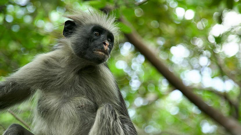 Découverte du parc national de Jozani Chwaka Bay, Zuri Hotel Zanzibar, Tanzanie