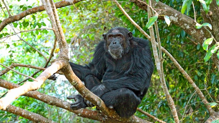 Les chimpanzés de Mahale, Kungwe Beach Lodge, Tanzanie