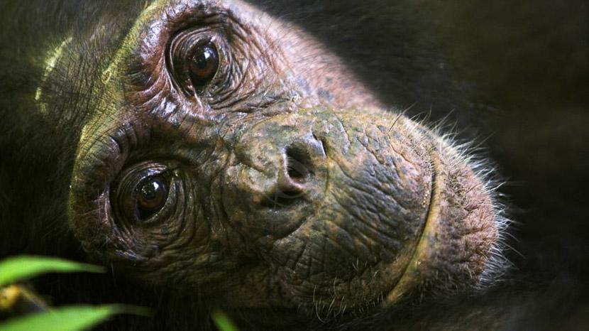 Les chimpanzés de Mahale, Safari à Greystoke Mahale, Tanzanie © Nomad