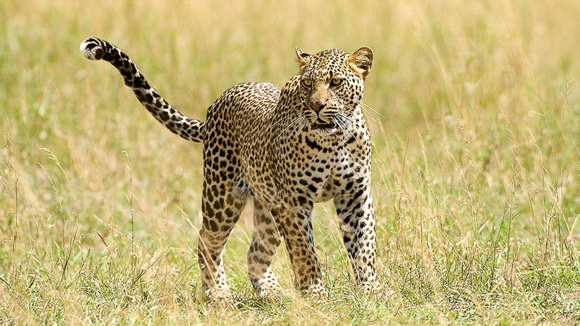 Cratère du Ngorongoro, Ambiance de safari, Tanzanie © Alain Pons