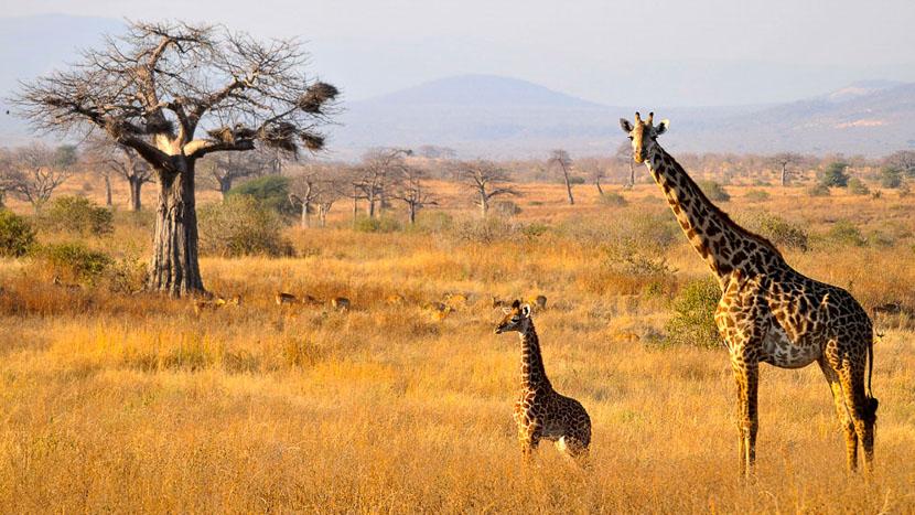 Safari à pied à Ruaha, Kwihala Camp à Ruaha, Tanzanie © Asilia