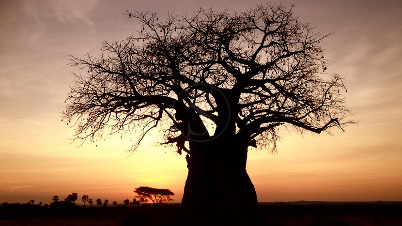 Safari à pied à Ruaha, Safari à Ruaha, Tanzanie © Kigelia Nomad Safaris