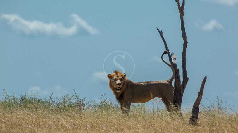 Parc national de Nyerere (ex Selous), Safari à Sélous, Tanzanie