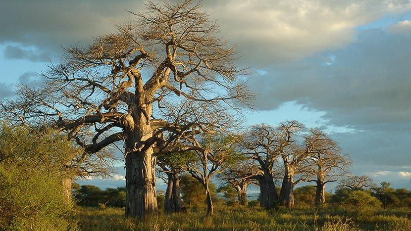 Parc national de Tarangire, Ambiance de safari, Tanzanie © Alain Pons