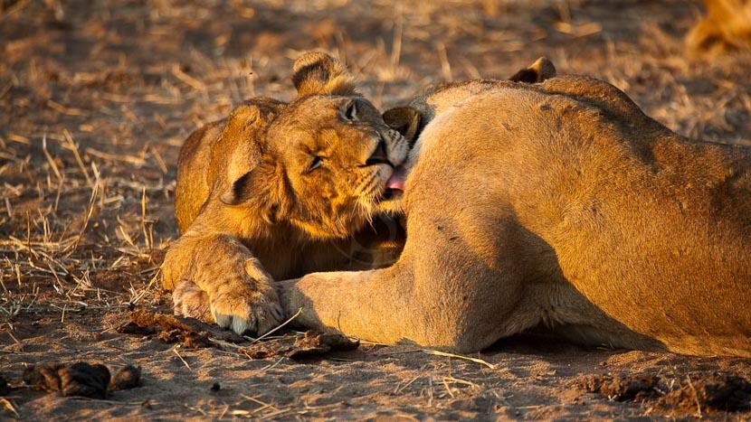 Safari dans le parc national du Lower Zambezi, Lionnes dans le parc du Lower Zambezi