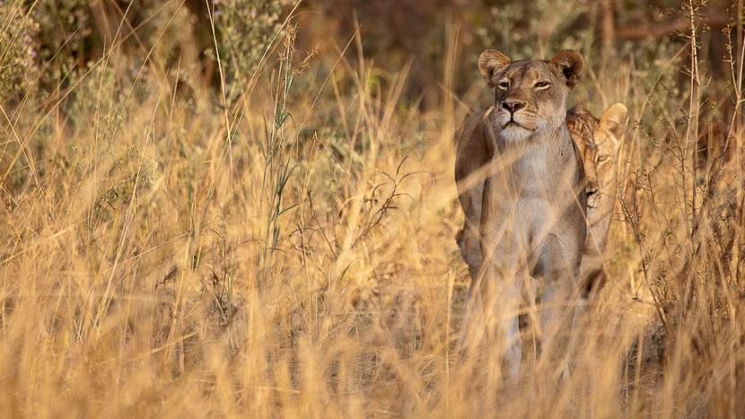 Parc national de South Luangwa, Lionnes dans le parc de South Luwangwa, Zambie