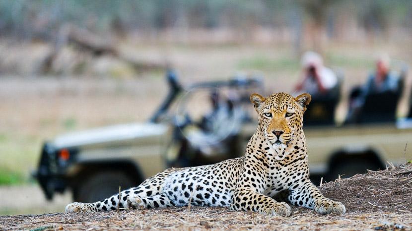 Safari en 4x4 dans le parc national de South Luangwa, Old Mondoro, Zambie