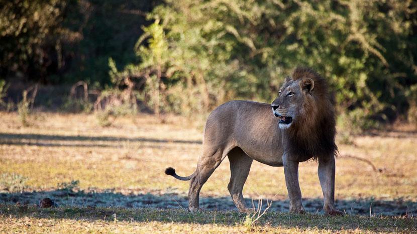 Safari en 4x4 dans le parc national de South Luangwa, Lion mâle à South Luangwa