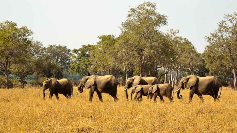 Safari en 4x4 dans le parc national de South Luangwa, Eléphants lors d'un safari en Zambie