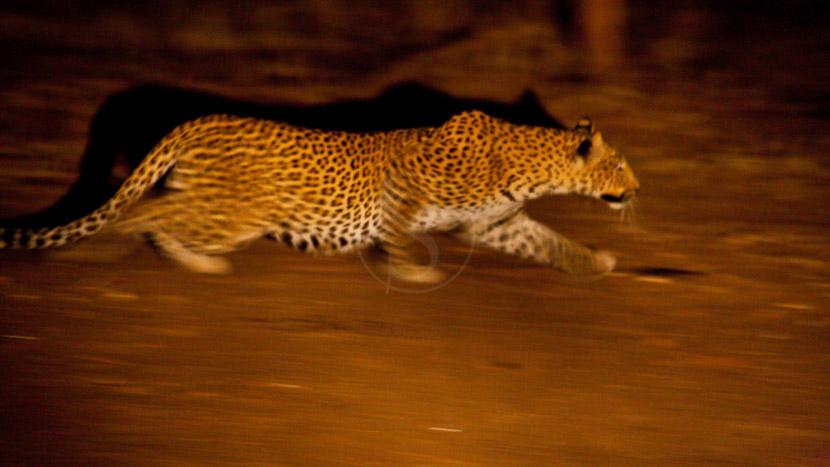 Safari nocturne en 4x4, Léopard lors d'un safari de nuit, Zambie