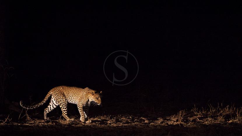 Safari nocturne en 4x4, Mwaleshi Camp, Zambie