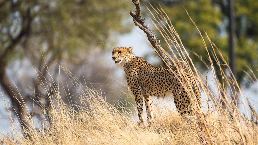 Safari en 4x4 dans le parc national Hwange, Linkwasha Camp, Zimbabwe © Dana Allen