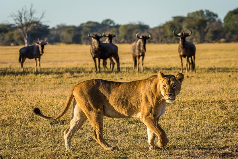 Safari en 4x4 au Zimbabwe, Linkwasha Camp, Zimbabwe © Dana Allen