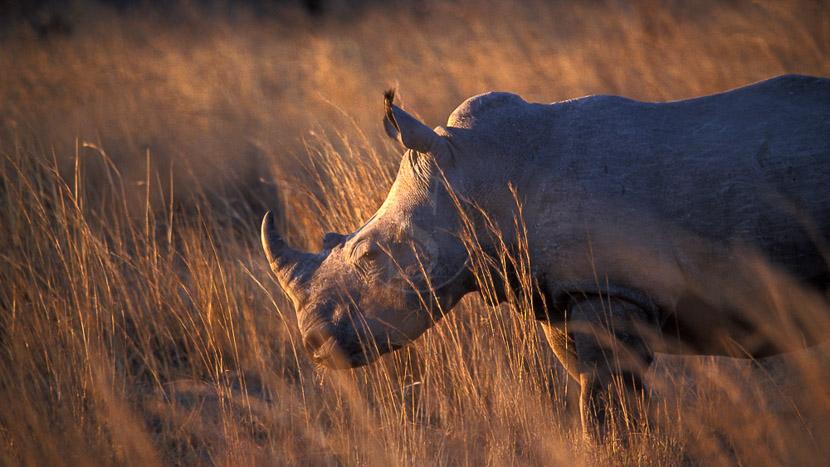 Approcher les rhinocéros à pied, Les Matopos, Zimbabwe © L. Guillot