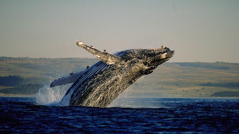 138 Marine Beachfront Guesthouse, Observation des baleines en Afrique du Sud © Rod Hastier