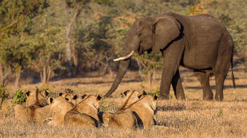 Elephant Plains Game Lodge, Safari à Sabi Sand, Afrique du Sud © Christophe Courteau