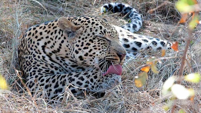 Karongwe River Lodge, Safari en Afrique du Sud © Alain Pons