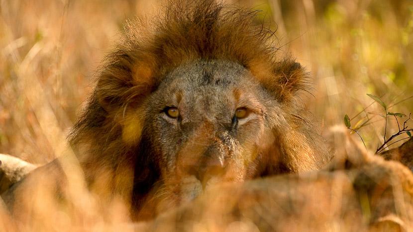 Nkorho Bush Lodge, Lions dans le parc Kruger, Afrique du sud